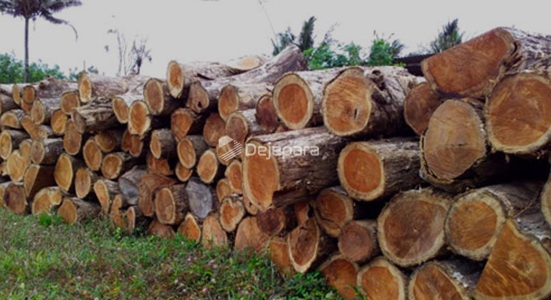Kayu Pinus atau Jati Belanda